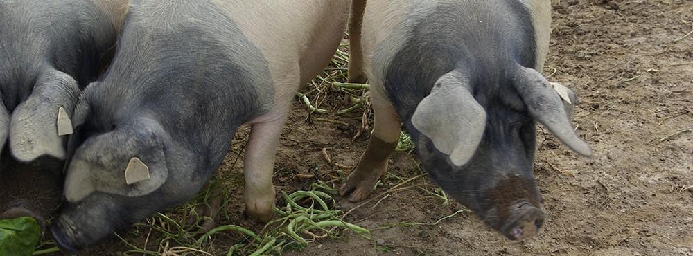 Une race de porcs à dévouvrir et à préserver